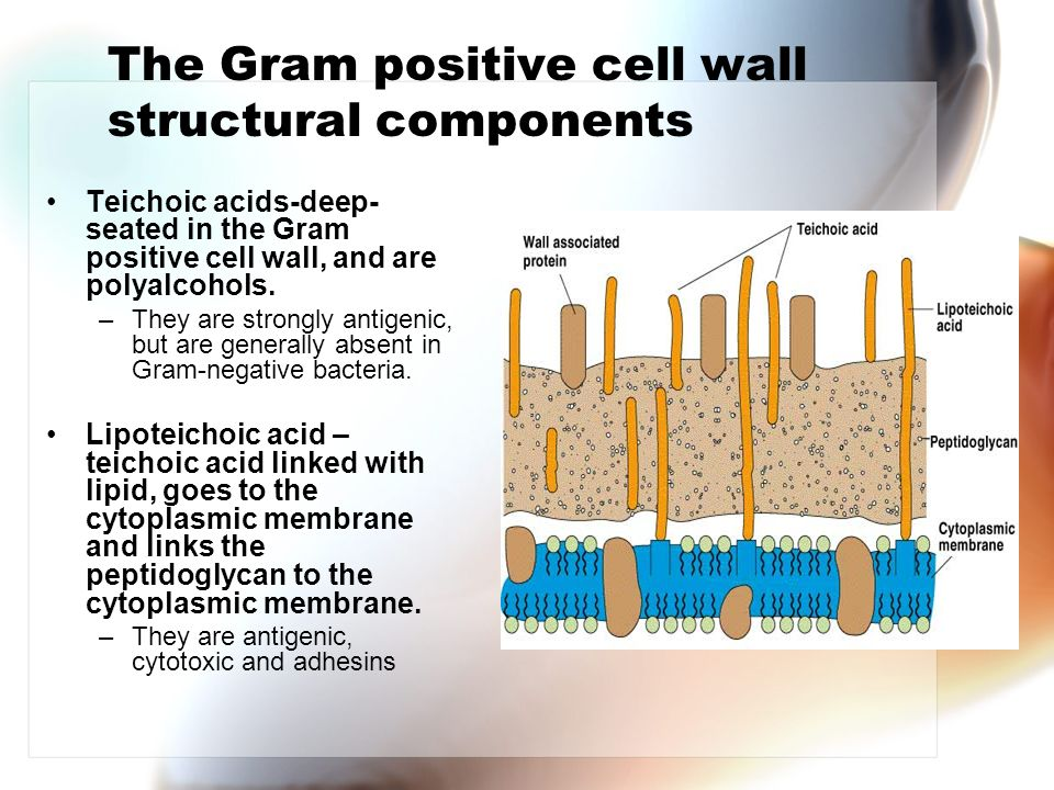 Gram positive cell wall - ppt download  Lipoteichoic Acid