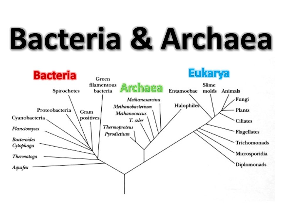 bacteria and archaea Bacteria are microscopic single-celled organisms that can be  woese began to characterize bacterial rrna and discovered a second group of prokaryotic organisms called archaea until then, the .