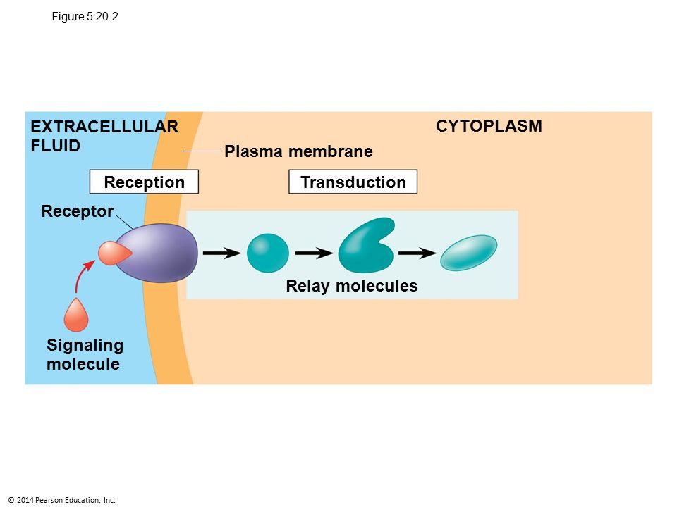 The three stages of cell signaling a preview ppt download 4 extracellular ccuart Choice Image