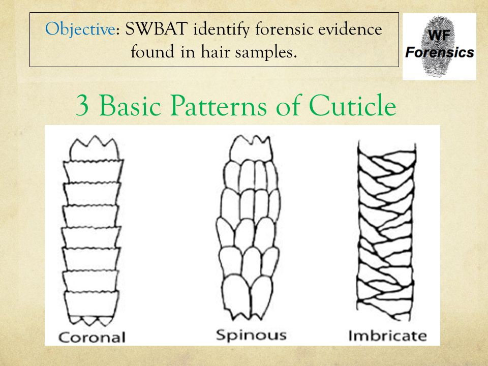 forensics hair testimony essay Forensic hair analysis forensic hair analysis is a method of studying hair found at the scene of a crime, and the scientific study of hair is referred to trichology in this paper i will discuss the different techniques that are used to study hair during an investigation and the many different.