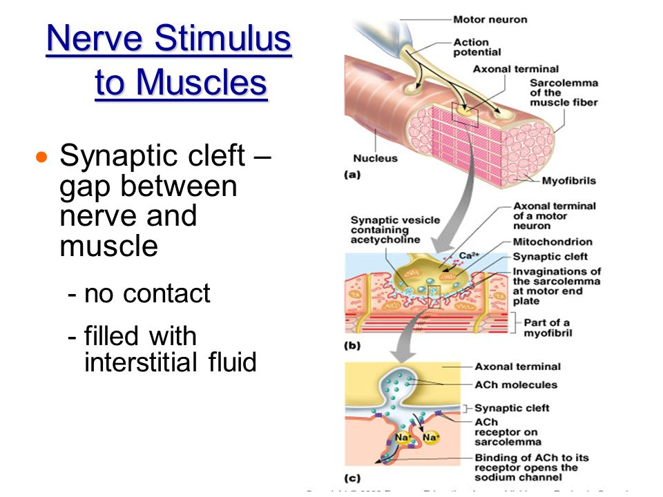 ch 10 muscle tissue 1 bio 218 fall 2012 chapter 10 – muscular tissue outline : types of muscle tissue skeletal, cardiac, smooth general functions & properties of muscular tissue.