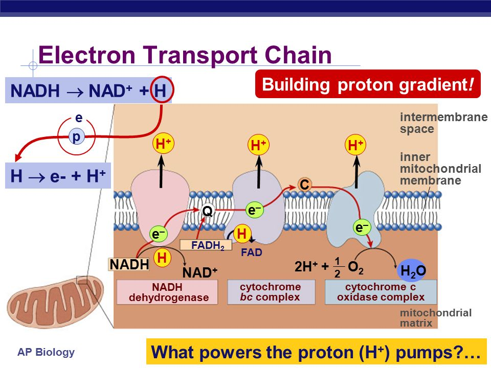 cellular respiration stage 4 electron transport chain