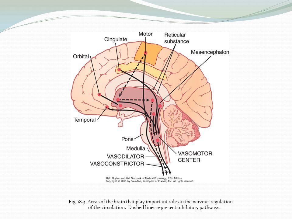 Ungewöhnlich Anatomie Des Pons Ideen - Anatomie Ideen - finotti.info
