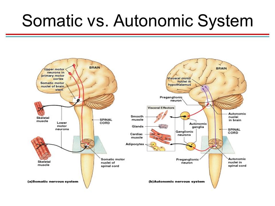 Chapter 9 The Autonomic Nervous System Lecture PowerPoint ... | 960 x 720 jpeg 76kB