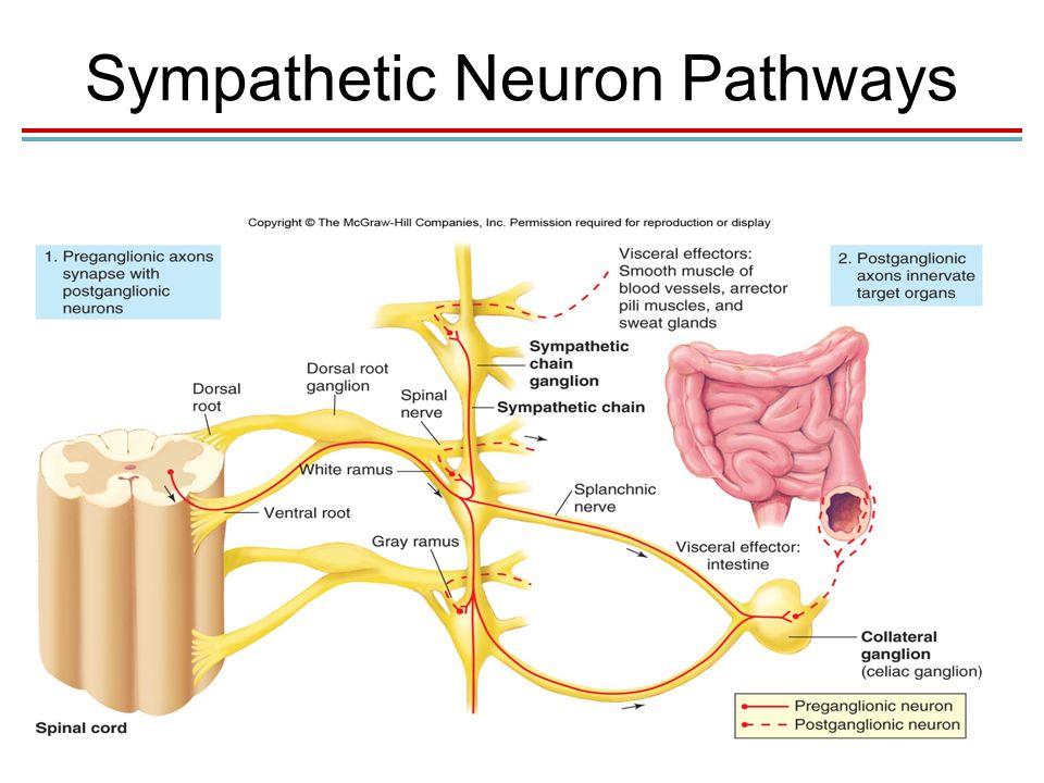 Chapter 9 The Autonomic Nervous System Lecture PowerPoint ...