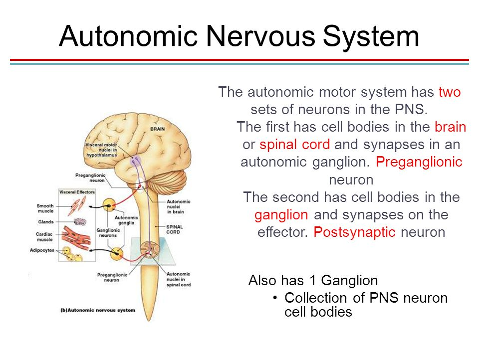 how the mind modulates the autonomic nervous system Device-based approaches to modulate the autonomic nervous system and  as  a 'little brain' of the heart – it provides efferent input to the myocardium, collects.
