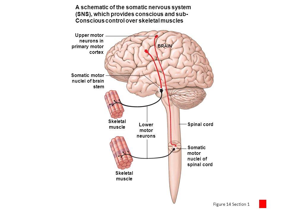 Chapter 14 The Autonomic Nervous System Autonomic system - ppt video ...