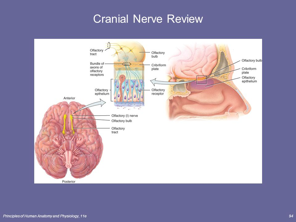 Anatomy cranial nerves 656315 - follow4more.info