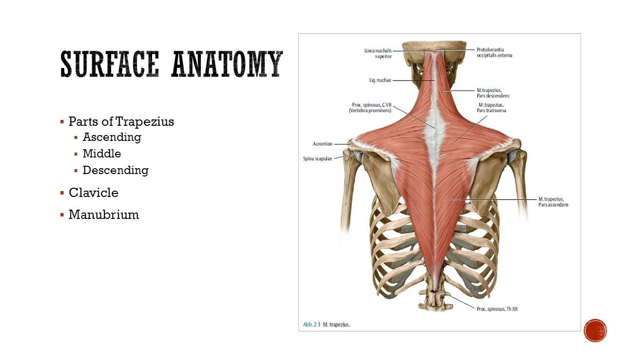 Surface anatomy terms