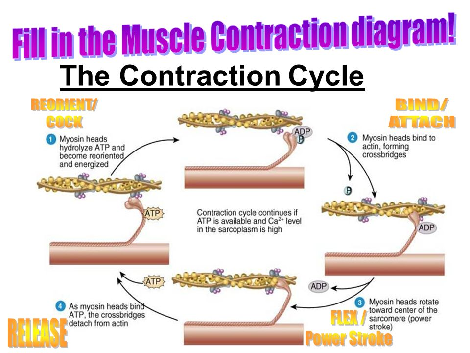 Muscle Contraction Diagram With Labels - DIY Wiring Diagrams •