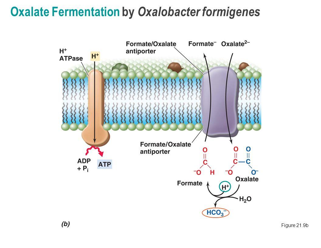 how to get oxalobacter formigenes