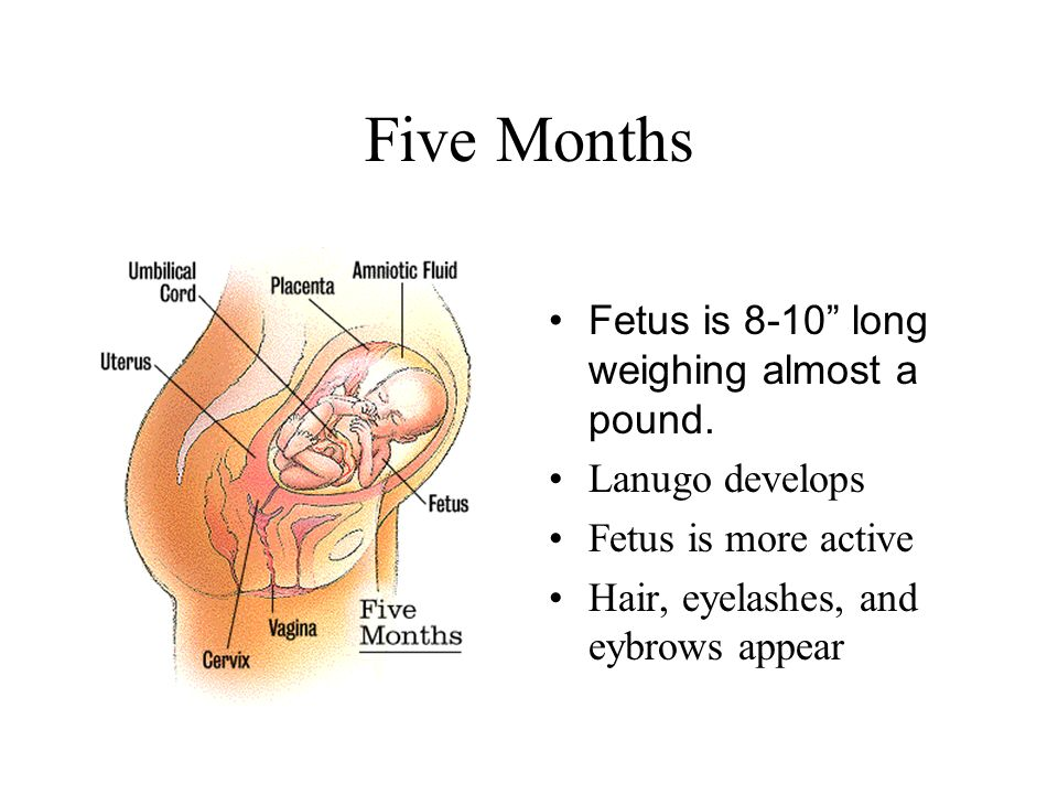 Fetal development month 5