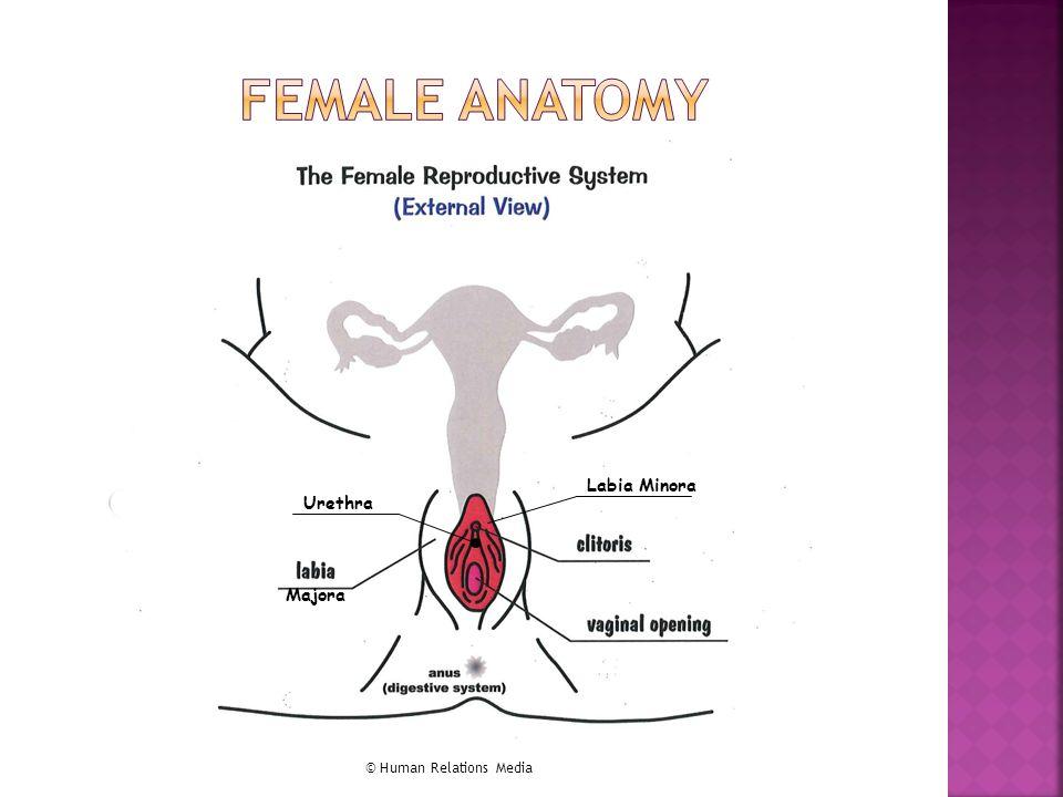 Define Female Anatomy Gallery - human body anatomy