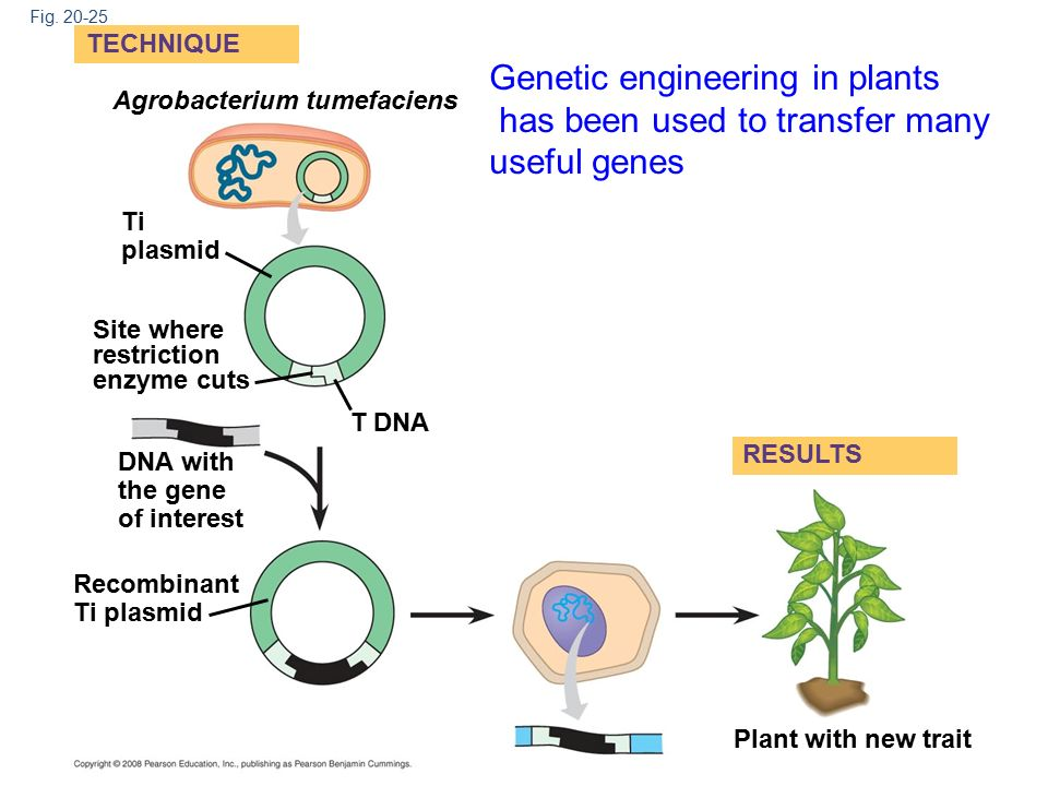 genetic engineering in plants Traditional breeding has increased production many-fold without the need for genetic engineering of crops with unknown food safety [ econ ] [ fs ] potential improvements in nutritive value of plants, eg golden rice could safely and inexpensively improve health in poor countries.