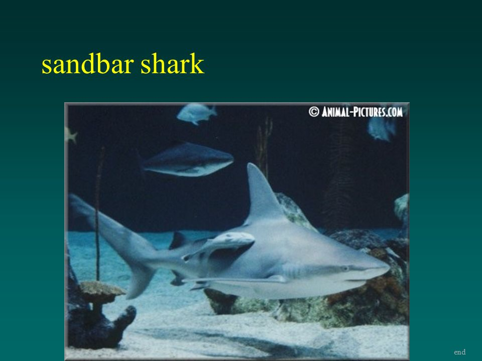 Bronchial shark ray number of
