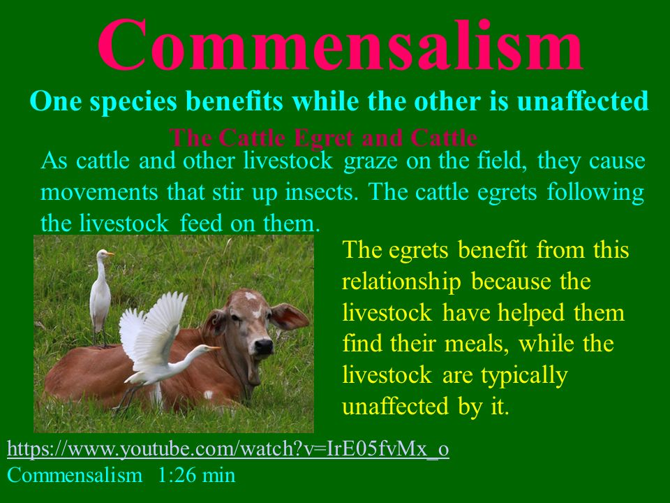 cattle egret and relationship memes