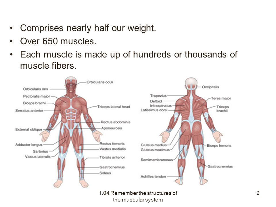 1.04 remember the structures of the muscular system - ppt download,