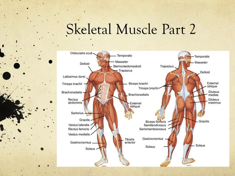 skeletal muscle Exercise increases the strength of skeletal muscles by enlarging the cells and changing the interaction between nerves and muscles, according to scientific american.