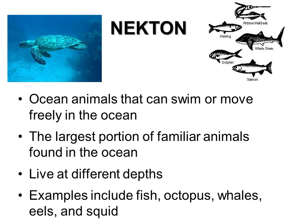 NEKTON Ocean animals that can swim or move freely in the ocean