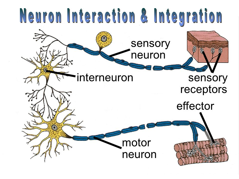 relationship between sensory motor and association neurons definition