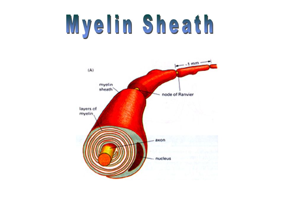 myelin sheath 06072018 overview of demyelinating disorders  the myelin sheath enables electrical impulses to be conducted along the nerve fiber with speed and accuracy.