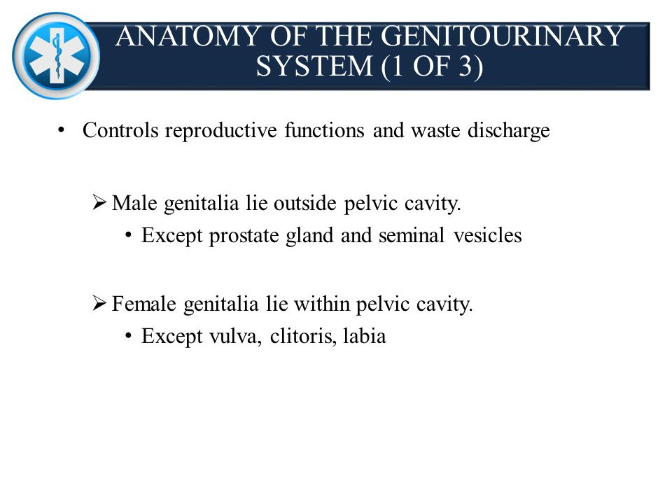 Anatomy of the genitourinary system