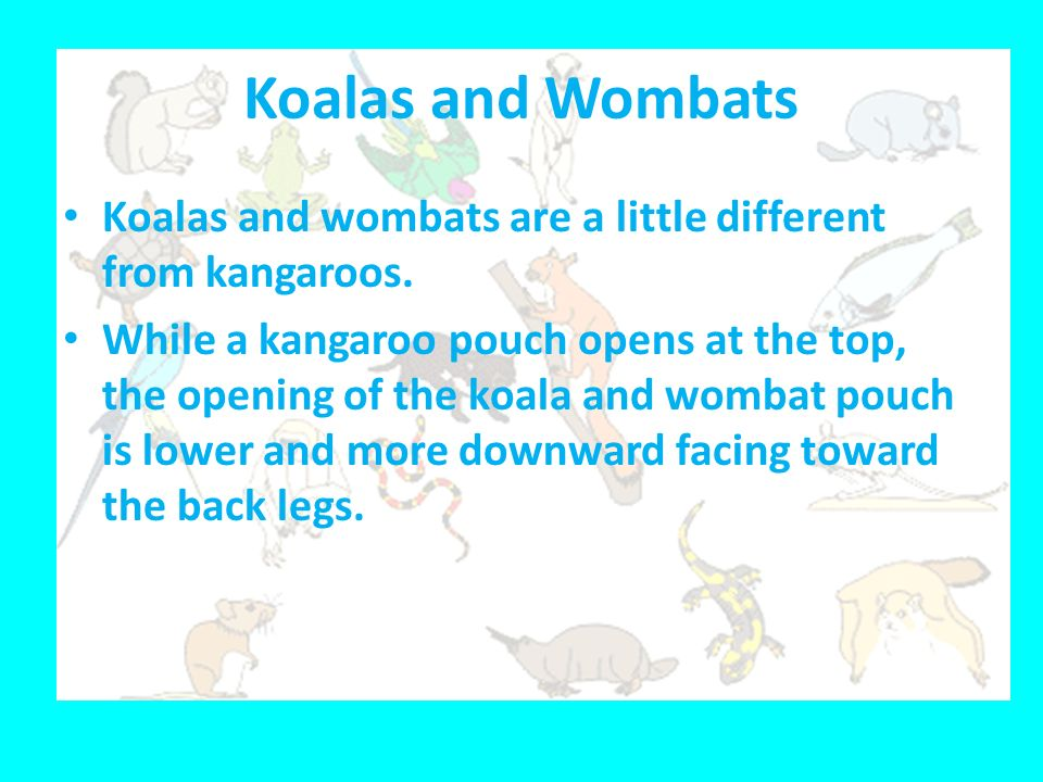 Koalas and Wombats Koalas and wombats are a little different from kangaroos.