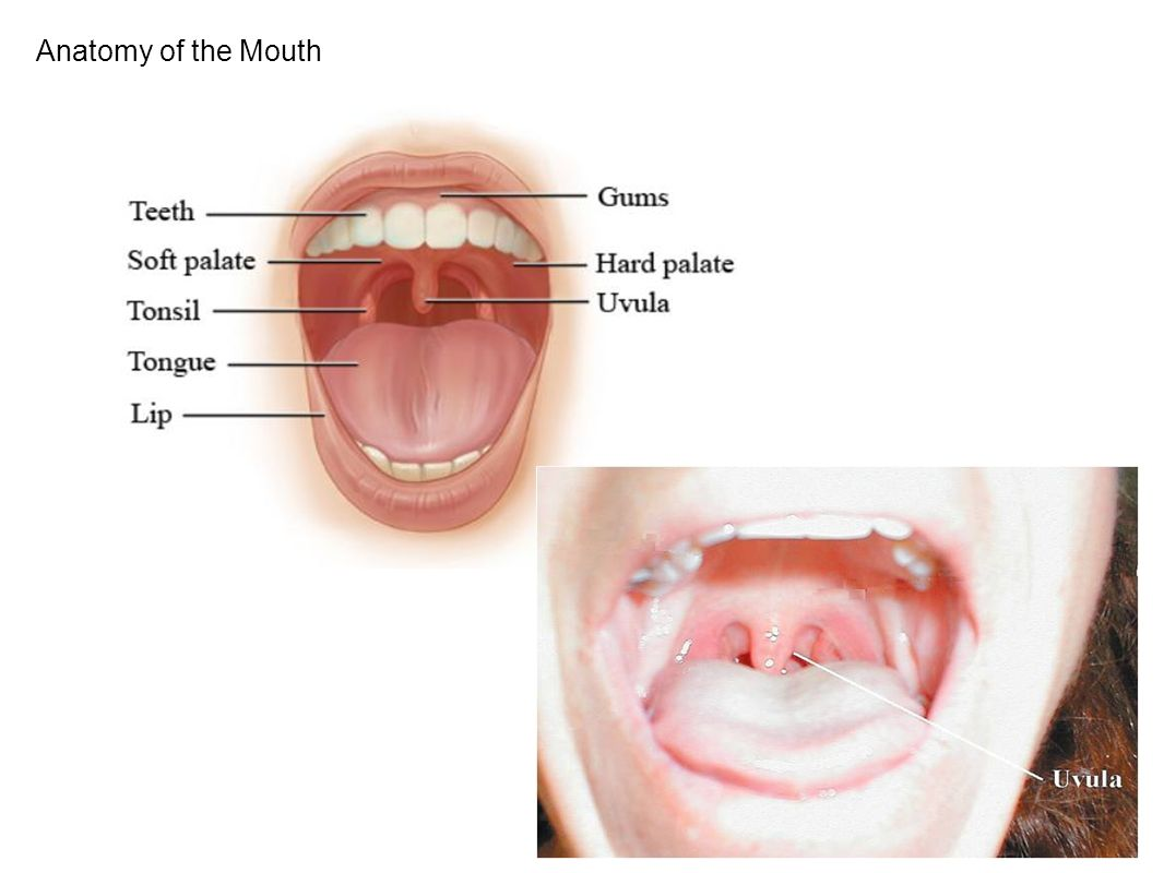 Anatomy of a mouth