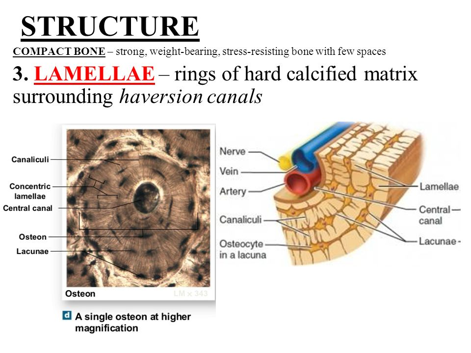 microscopic structure of bone - ppt video online download, Sphenoid
