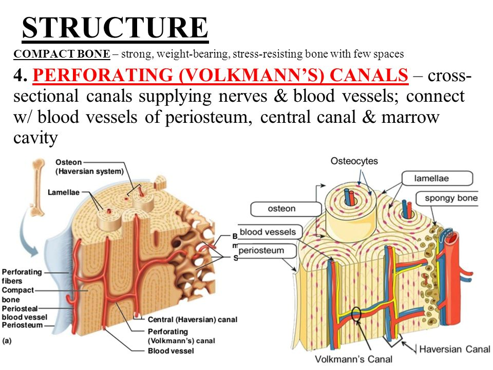 Microscopic Structure Of Bone Ppt Video Online Download