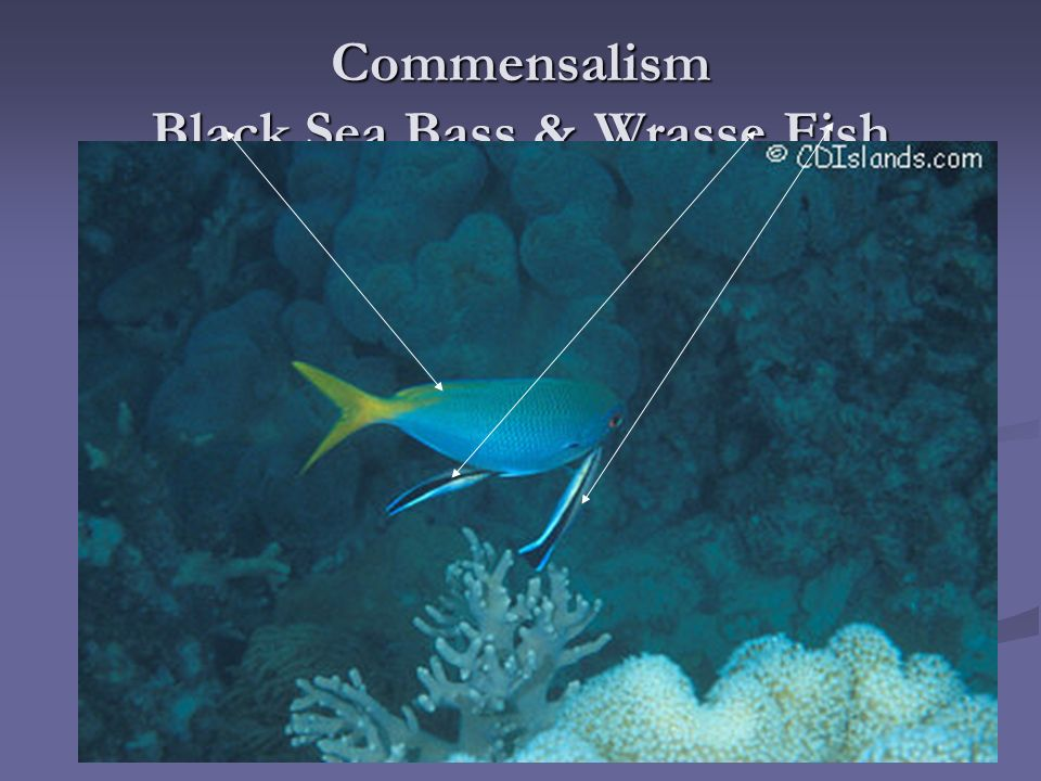 wrasse fish and black sea bass symbiotic relationship