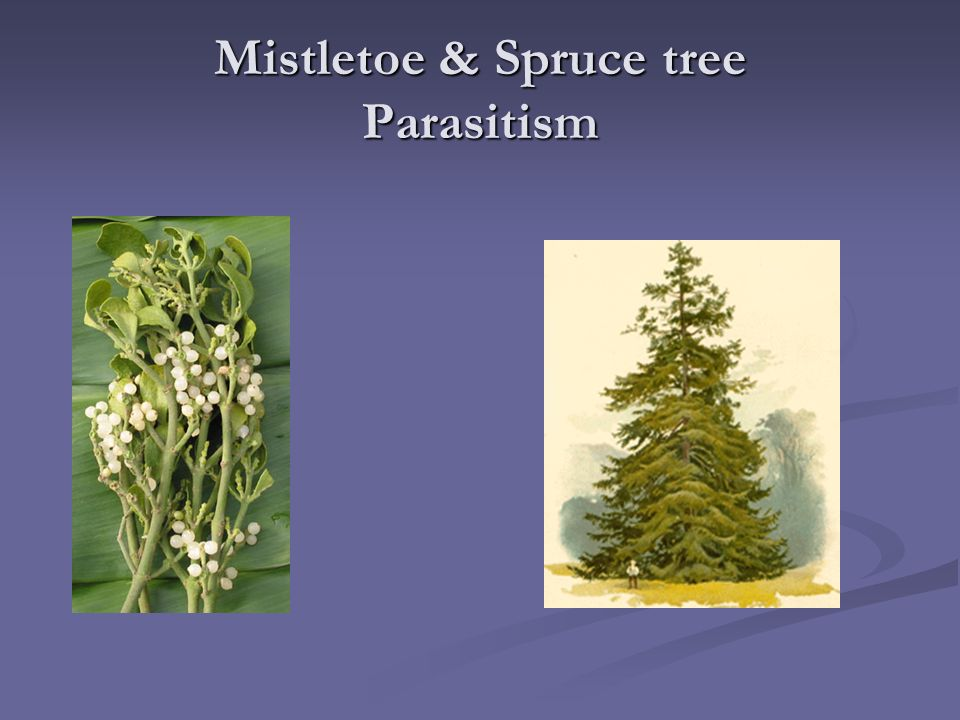 what is the symbiotic relationship between mistletoe and spruce trees