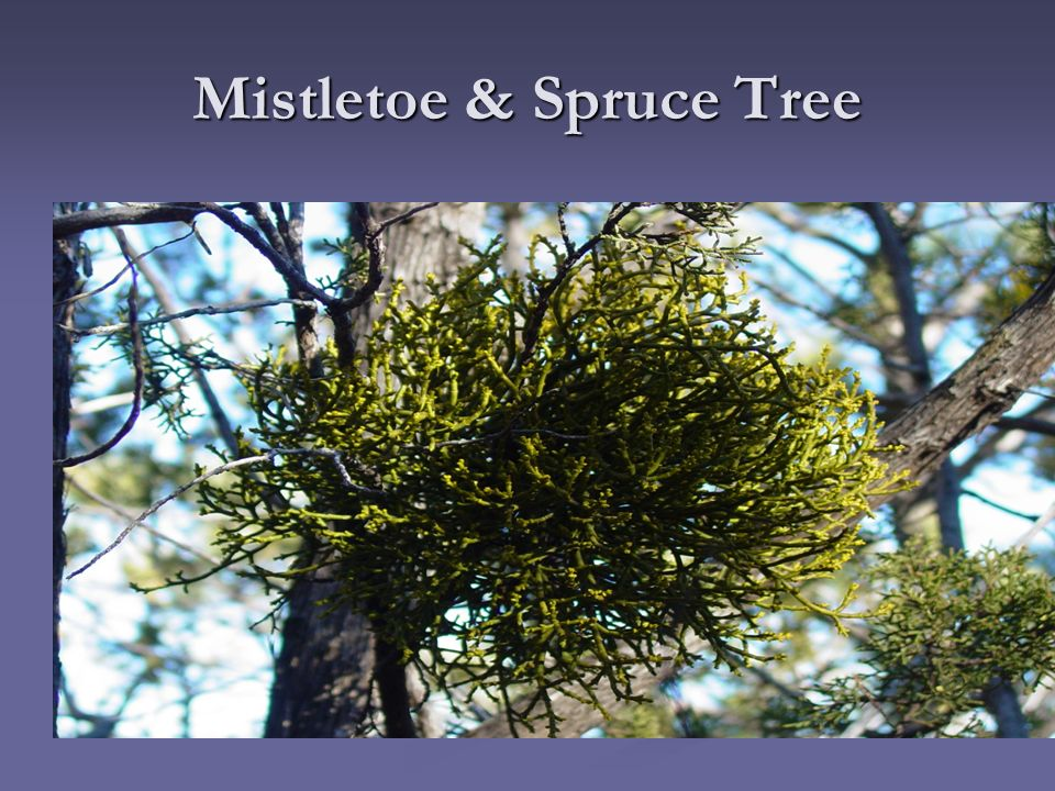 mistletoe and spruce tree relationship