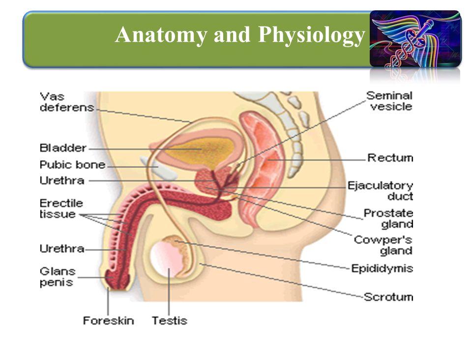 Fein Anatomy And Physiology Of Prostate Gland Bilder - Menschliche ...