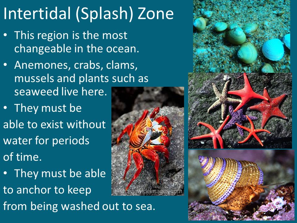 Intertidal (Splash) Zone
