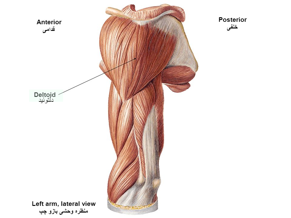 Left Deltoid Choice Image - human anatomy organs diagram