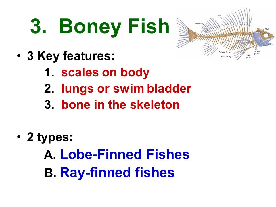 Chapter 39 fish with introduction to vertebrae classes for Types of bony fish