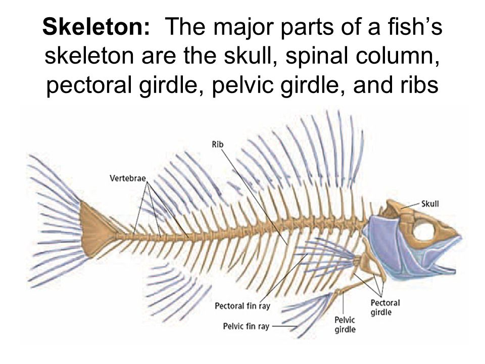 Chapter 39 Fish With introduction to vertebrae classes ...