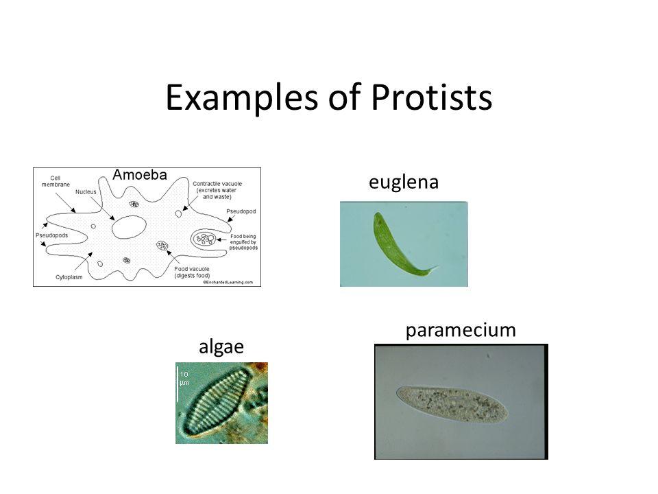 protist examples