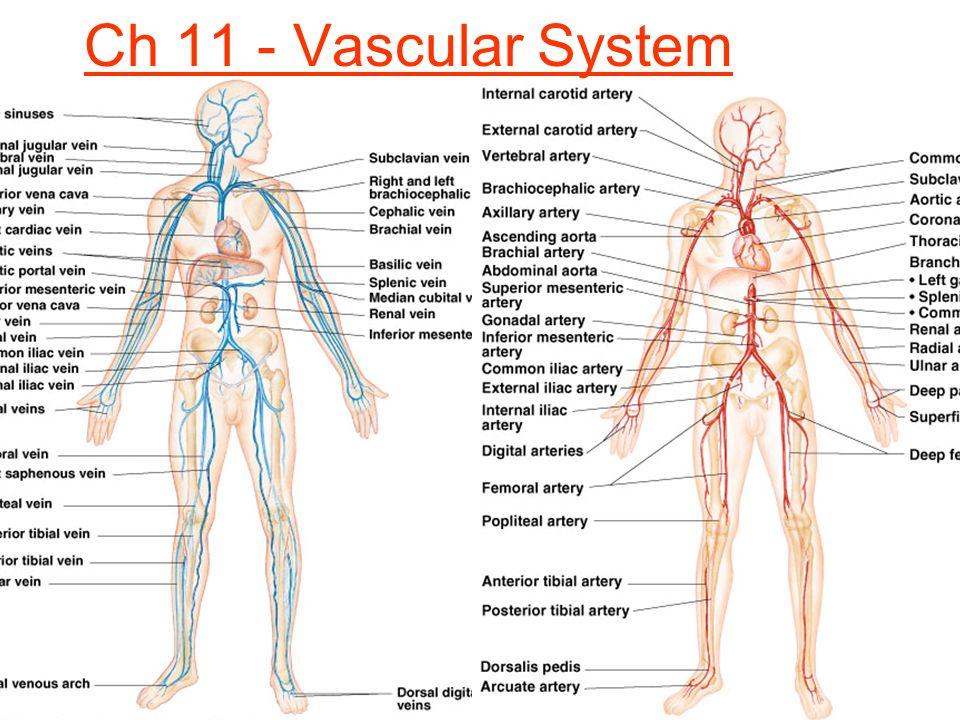Ch 11 - Vascular System. - ppt video online download