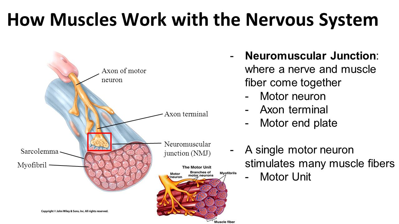 Ch contraction and metabolism of skeletal muscle ppt for What is motor neuron