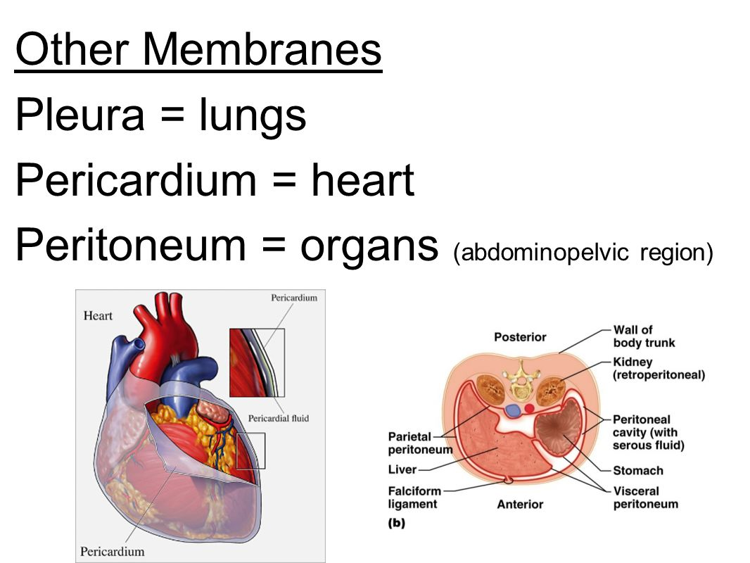 Biology Archive 2017 March 18 also Collectionbdwn Body Cavities And Organs as well API 20Notes 20A 20 20Language 20of 20Anatomy also 3859425 as well 9119933. on parietal serous membranes concept map