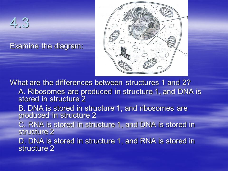 4.3 Examine the diagram: What are the differences between structures 1 and 2