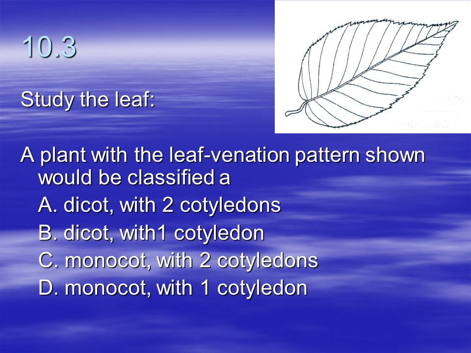 10.3 Study the leaf: A plant with the leaf-venation pattern shown would be classified a. A. dicot, with 2 cotyledons.