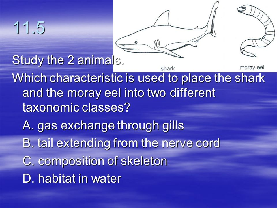 11.5 Study the 2 animals. Which characteristic is used to place the shark and the moray eel into two different taxonomic classes