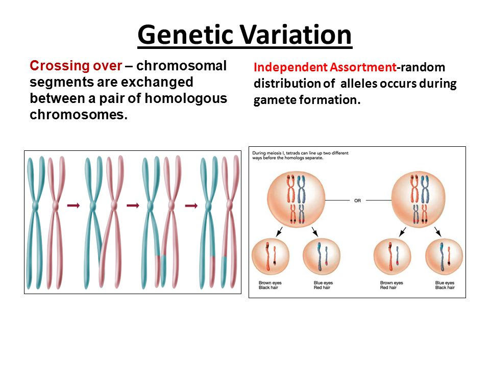 Meiosis, Genetics and Heredity - ppt download