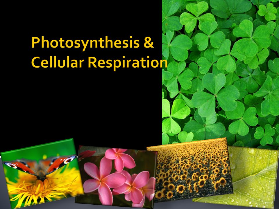 notes on cellular respiration photosynthesis