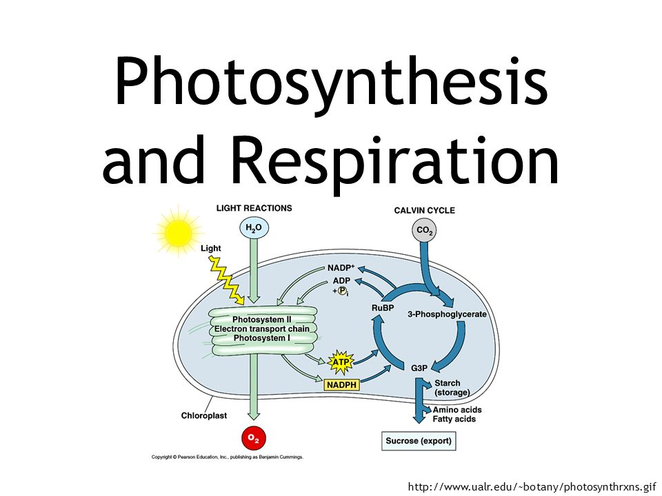 photosythesis and respiration 6co2 + 6h2o -------------- c6h12o6 + 6o2 sunlight energy once upon a time  a young plant named billy wondered how he got his food so he asked his.