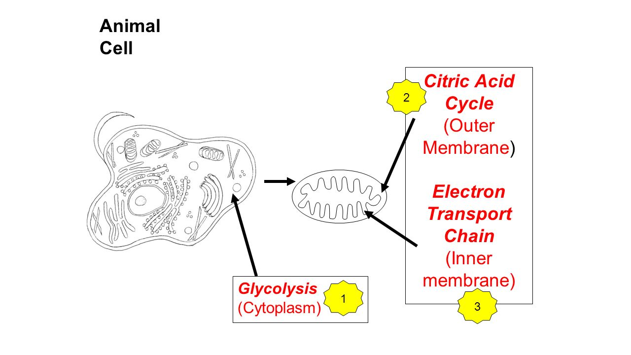 cell membrane electron transport chain The electron transport chain for aerobic respiration uses integral proteins embedded in the inner membrane the mitochondrial matrix , corresponding to the location of the original bacterium's cytoplasm, is the current location of many metabolic enzymes.