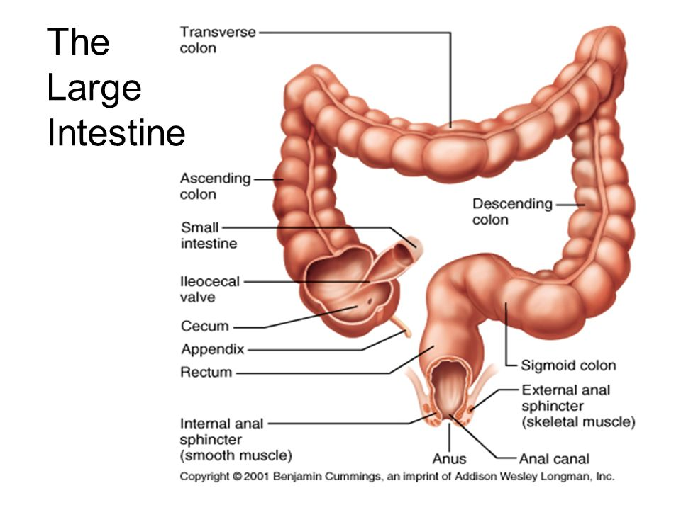 Structure And Function Of The Human Digestive System Ppt